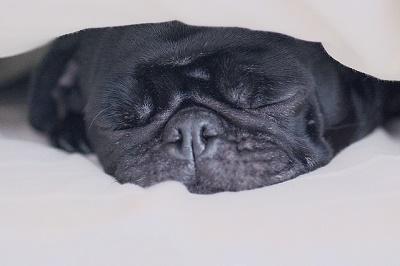パグ犬-小太郎